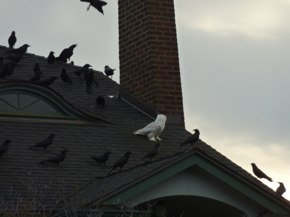 Snowy Owl on Roof with Crows (Photo © Ira Zuckerman)