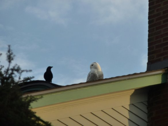 Snowy Owl and Crow on Roof (photo by Ira Zuckerman)