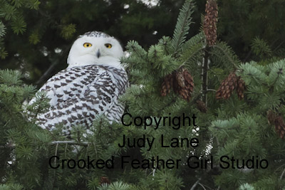 Snowy in Tree ©2012 Judy Lane / Crooked Feather Girl Studio