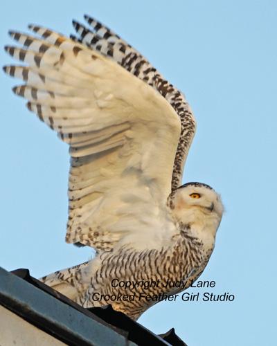 Snowy owl ballard 11 JanAE4W5776