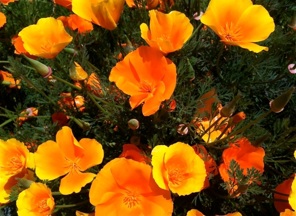 California Poppies | ©2013 HouseofHank.me