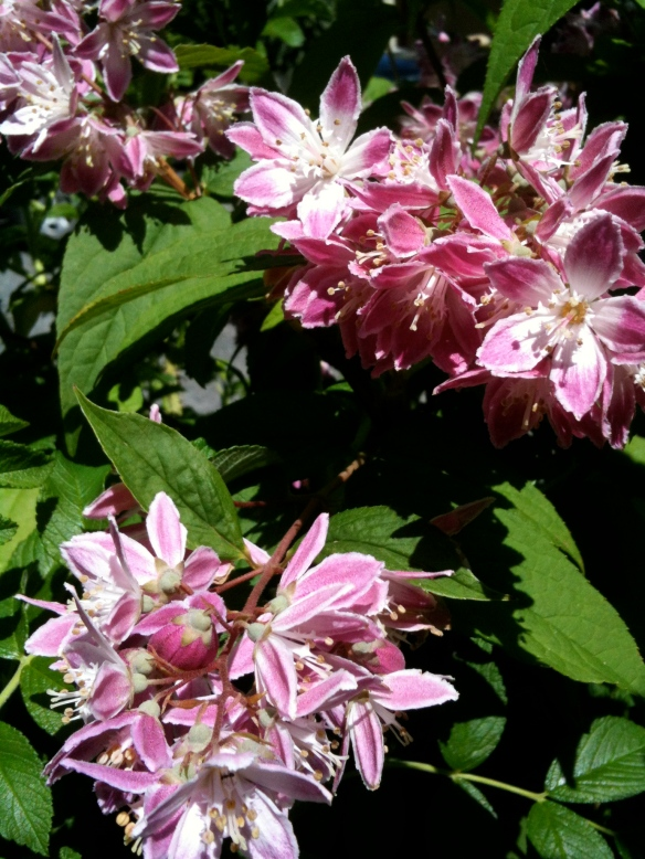 Deutzia spp.| ©2014 HouseofHank.me