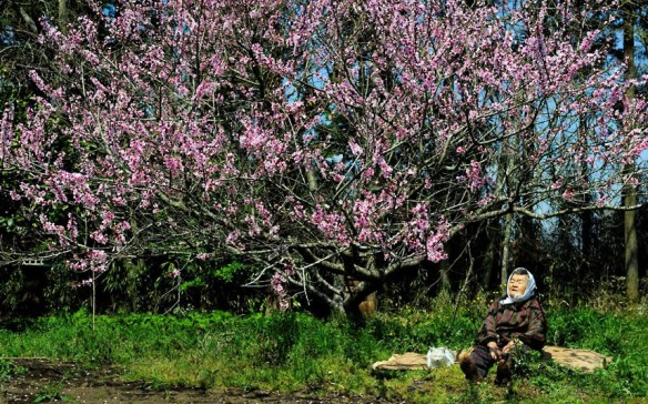 Cherry Blossom Miyoko Ihara | Rex Features