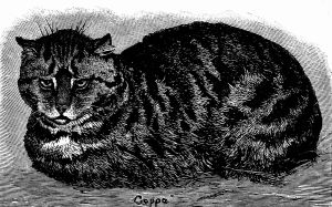 English tabby cat from Wikipedia