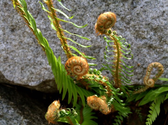 fern fronds in spring